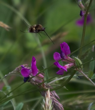 The pollinating bee fly. Helpful, but not cute. - ANTHONY WESTKAMPER