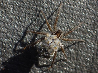 A mother wolf spider with babies on board. - ANTHONY WESTKAMPER