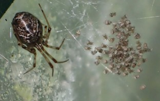 An American house spider may leave something in the web for her little ones. - ANTHONY WESTKAMPER