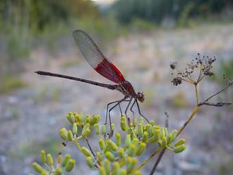 The pretty-boy American rubystpot male with his distinctive wings back. - ANTHONY WESTKAMPER