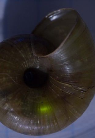 A glow worm dining inside a snail shell. - ANTHONY WESTKAMPER