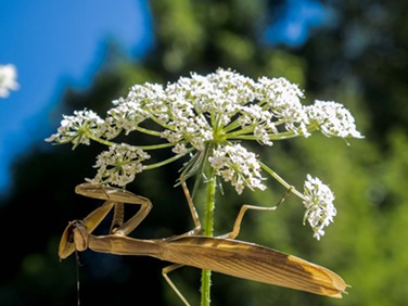 A tan mantis on Queen Anne's lace.