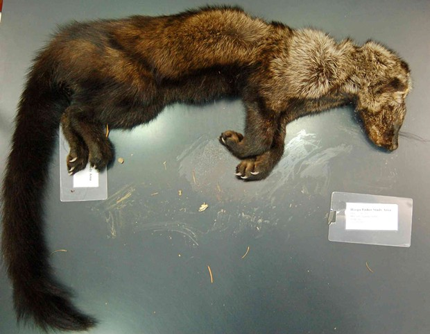 The body of a fisher that researchers say was poisoned by rodenticides found at an illegal marijuana grow. - UC DAVIS