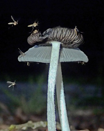 Sorry, mycologists; fungus gnats are among us.