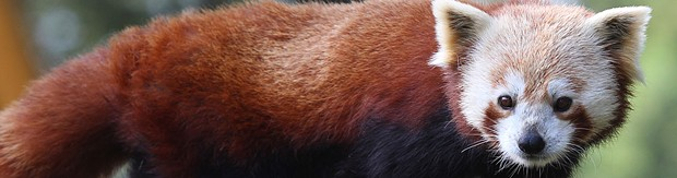 Masala, the year-and-a-half-old red panda that escaped from the zoo yesterday, remains at large. - COURTESY OF THE CITY OF EUREKA