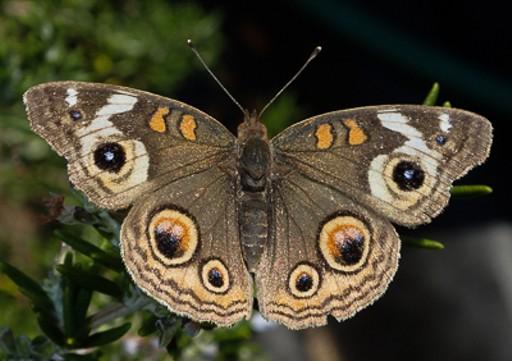 A buckeye butterfly.