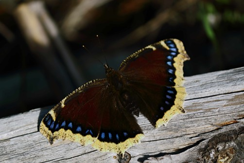 The mourning cloak butterfly, in for the winter.