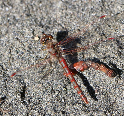 This dragonfly is missing its left front wing. - ANTHONY WESTKAMPER