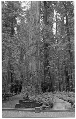 Founder's Tree, once dubbed the tallest living tree in the world, stands near Dyerville. - HUMBOLDT HISTORICAL SOCIETY