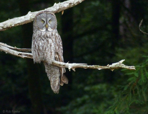 A Great Gray Owl, the first spotted in Humboldt in more than three decades, perches near Prairie Creek Redwoods State Park on Thursday. - ROB FOWLER