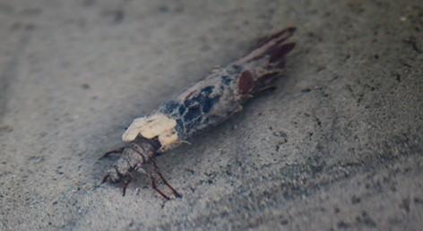Caddisfly larva leaving tracks.