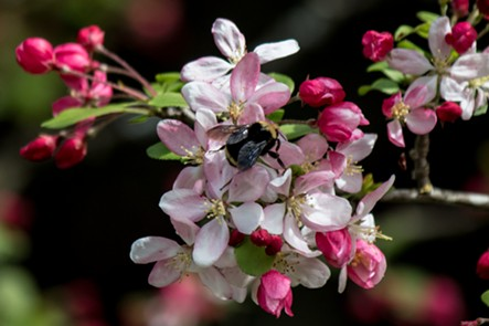 A crab apple blossom get a going over by a bumble bee. - ANTHONY WESTKAMPER