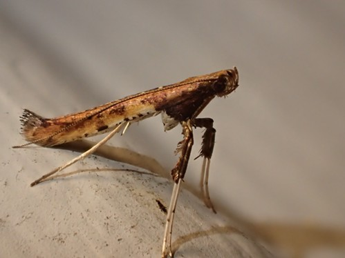 A moth from the family Gracillariidae strikes a mantis-like pose.