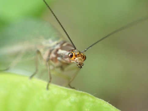 Hello there. The tiny face of a lacewing. - ANTHONY WESTKAMPER