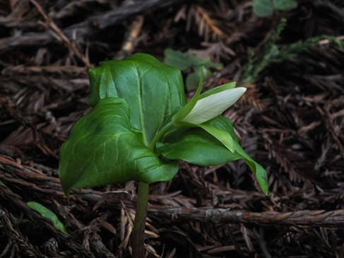 First trillium bud of the year. - ANTHONY WESTKAMPER