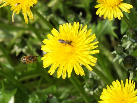A honeybee moves in to bully a smaller bee off the dandelion. It failed and moved on.