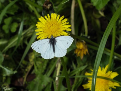 Even the margined white butterfly can't resist.