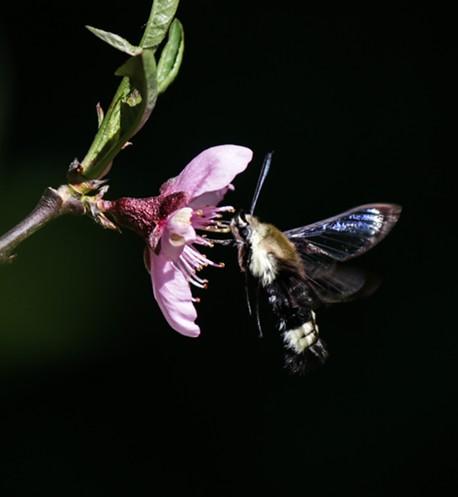 Is it a bee? Is it a moth? It's a bumble bee moth! - ANTHONY WESTKAMPER