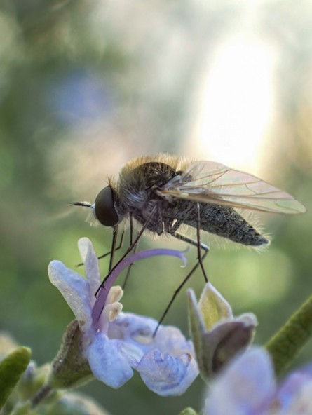 A geron, a small member of the bee fly family, fills up at a flower. - ANTHONY WESTKAMPER
