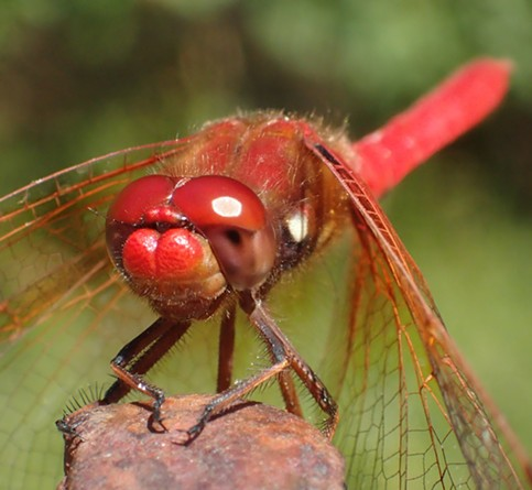 My eyes are up here. Cardinal meadowhawk (Sympetrum illotum) showing upper and lower differences in its eye structure. - ANTHONY WESTKAMPER
