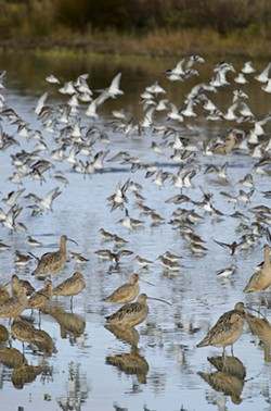 Godwits, dowitchers and sandpipers. Oh, my. - PHOTO BY DREW HYLAND