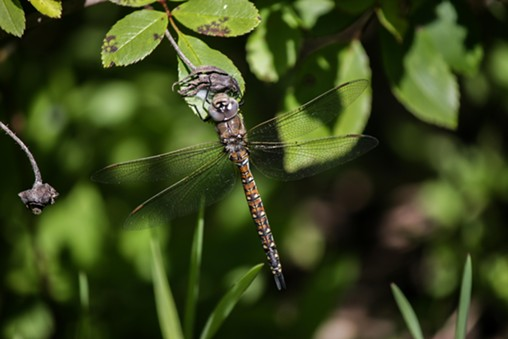 The comparatively dowdy female California darner. - ANTHONY WESTKAMPER