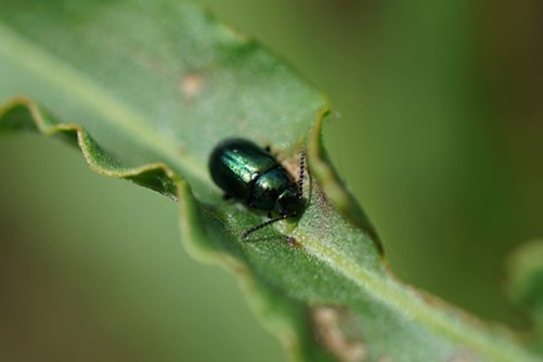 The gorgeous green dock beetle (Gastrophysa cyanea).