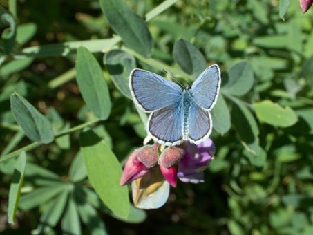Behr's Blue (Glaucopsyche lygdamus incognitus). The name's bigger than the bug!