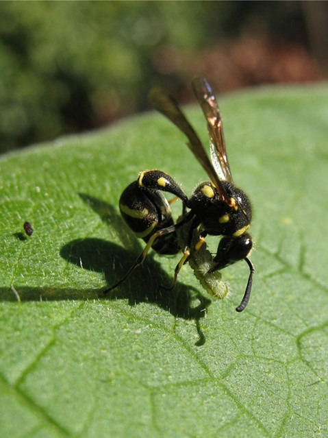 Potter wasp finishing up processing another larvae, note; caterpillar's fecal pellet an inch away. - ANTHONY WESTKAMPER