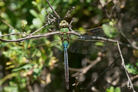 A common green darner at the Arcata Marsh.
