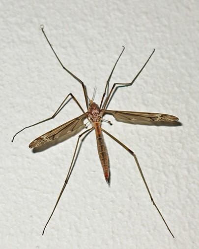 The lanky crane fly. - ANTHONY WESTKAMPER