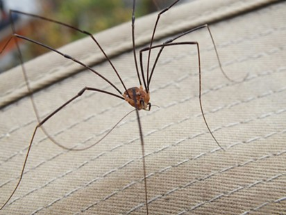 A daddy long legs (Opaline) on the photographer's hat brim, cleaning its, well, long leg. - ANTHONY WESTKAMPER