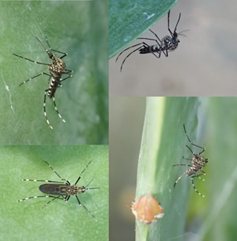 A composite of Sierriensis feeding on a cactus leaf in my greenhouse. - ANTHONY WESTKAMPER