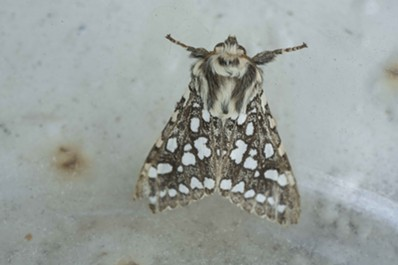Congratulations, it's a silver spotted tiger moth. - ANTHONY WESTKAMPER