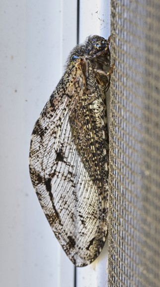A giant lacewing on my front windowsill. - ANTHONY WESTKAMPER