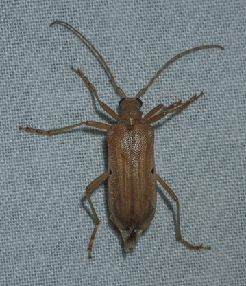Cerambycid Beetle, a yellow Douglas fir borer (Centrodera spruces). - ANTHONY WESTKAMPER