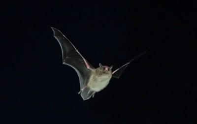 A little brown bat. - ANTHONY WESTKAMPER