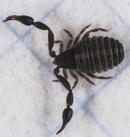 Pseudoscorpion on 1/8-inch ruled graph paper. - ANTHONY WESTKAMPER