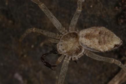 Running crab spider devouring pseudoscorpion. - ANTHONY WESTKAMPER