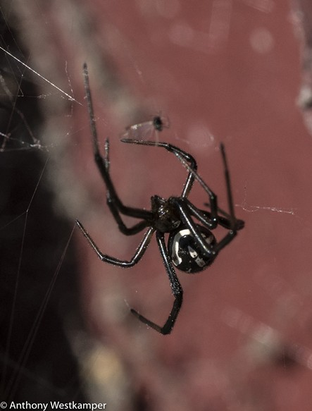 Female dorsal view (the white markings may be shed during next molt). - ANTHONY WESTKAMPER