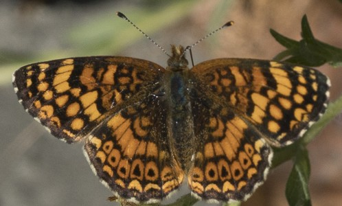 Mylitta crescent butterfly, Each wing about as big as my thumbnail. - ANTHONY WESTKAMPER