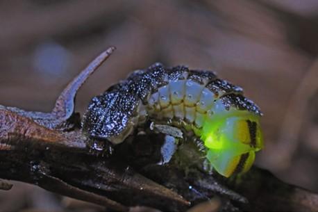 Glow worm in my backyard. - ANTHONY WESTKAMPER