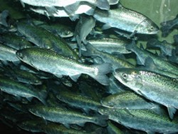 Favorable ocean conditions and heavy rains have brought the Chinook Salmon back, but to a river choking of toxic algae. - FILE