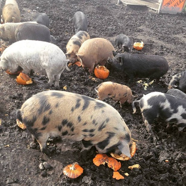 Piggies at Tule Fog Farm chowing down on Jack O'Lanterns. - FACEBOOK