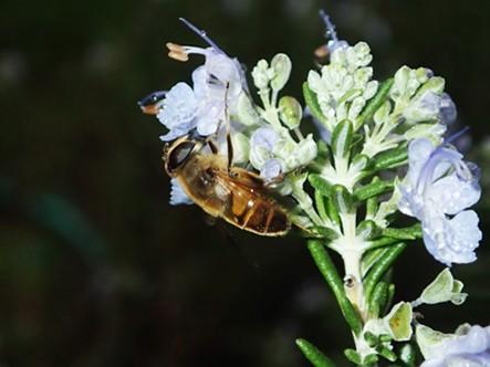 A drone fly, not a honeybee. - ANTHONY WESTKAMPER