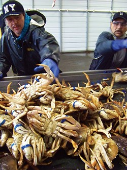 Felixnando Martinez, left, and Arturo Bertran band Dungeness crab at Wild Planet Foods' processing shed near the new Fisherman's Terminal. - PHOTO BY HEIDI WALTERS