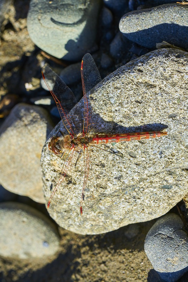 Variegated Meadowhawk on a rock. - ANTHONY WESTKAMPER