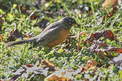 A robin taking a worm in my front yard. - ANTHONY WESTKAMPER