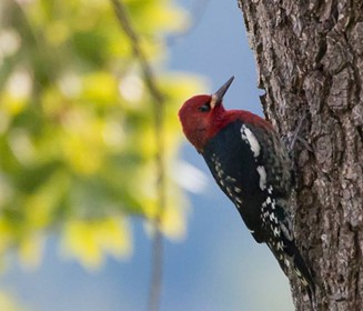 A red headed sapsucker inspecting a pepperwood for bugs in my yard. - ANTHONY WESTKAMPER