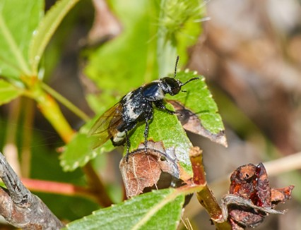 The hairy rove beetle resembles a bumblebee in flight. - ANTHONY WESTKAMPER